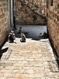Γάτες σε Budva, παλαιά πόλη στοκ φωτογραφία