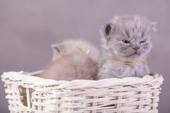 Γάτες στο καλάθι Στοκ Φωτογραφία