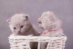 Γάτες στο καλάθι Στοκ Εικόνες