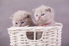 Γάτες στο καλάθι Στοκ εικόνες με δικαίωμα ελεύθερης χρήσης