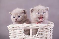 Γάτες στο καλάθι Στοκ Εικόνα