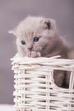 Γάτες στο καλάθι Στοκ φωτογραφίες με δικαίωμα ελεύθερης χρήσης
