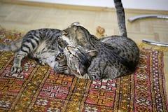 Γάτες τιγρών που παλεύουν σε ένα ριγωτό γατάκι γουνών ταπήτων στοκ εικόνες