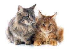 Γάτες του Μαίην coon Στοκ εικόνα με δικαίωμα ελεύθερης χρήσης