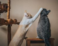 Γάτες του Devon Rex Στοκ φωτογραφίες με δικαίωμα ελεύθερης χρήσης