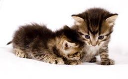 γάτες χαριτωμένες Στοκ Φωτογραφίες