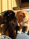 γάτες δύο Στοκ φωτογραφία με δικαίωμα ελεύθερης χρήσης