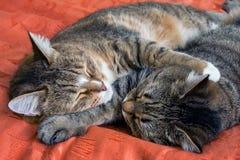 Γάτες ύπνου Στοκ εικόνα με δικαίωμα ελεύθερης χρήσης