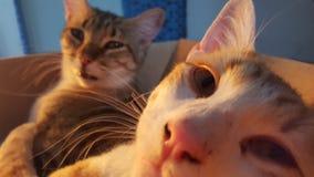 Γάτες Selfie Στοκ Φωτογραφία