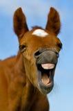 γέλιο αλόγων Στοκ Φωτογραφία