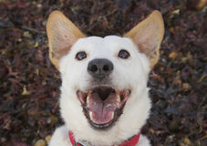 γέλιο σκυλιών στοκ φωτογραφία με δικαίωμα ελεύθερης χρήσης