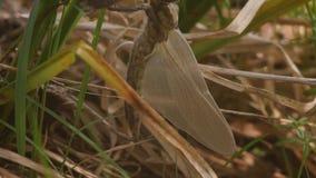 Γέννηση λιβελλουλών Μια λιβελλούλη προέκυψε μόλις από το λαρβικό δέρμα της και ταλαντεύεται στον αέρα και περιμένει τα φτερά απόθεμα βίντεο