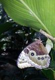 Γέννηση της μπλε πεταλούδας morpho στοκ φωτογραφίες