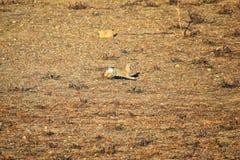 Γένος ludovicianus σκυλιών λιβαδιών Cynomys με μαύρη ουρά στο άγριο, χορτοφάγο burrowing τρωκτικό, στο λιβάδι shortgrass ecosyst στοκ εικόνα με δικαίωμα ελεύθερης χρήσης