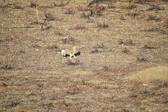 Γένος ludovicianus σκυλιών λιβαδιών Cynomys με μαύρη ουρά στο άγριο, χορτοφάγο burrowing τρωκτικό, στο λιβάδι shortgrass ecosyst στοκ εικόνες