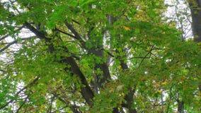 Γέρικο σφένδαμο με κλαδιά στον άνεμο σε ένα πάρκο της πόλης Αρχή του φθινοπώρου απόθεμα βίντεο