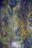 Γέρνοντας κλάδοι και λουλούδια του saligna ακακιών στοκ εικόνες