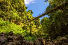 Γέφυρα για πεζούς στο τροπικό δάσος του εθνικού πάρκου Dorrigo, Αυστραλία Στοκ Εικόνα