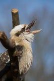 γέλιο kookaburra Στοκ εικόνες με δικαίωμα ελεύθερης χρήσης