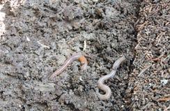 Γήινα σκουλήκια Στοκ Φωτογραφία