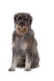 γίγαντας σκυλιών schnauzer Στοκ Φωτογραφίες