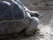 Γίγαντας Aldabra στενός Στοκ εικόνες με δικαίωμα ελεύθερης χρήσης