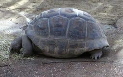 Γίγαντας Aldabra Στοκ Εικόνες