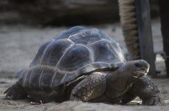 Γίγαντας Aldabra Στοκ Εικόνα