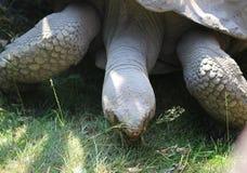 Γίγαντας Aldabra Στοκ Φωτογραφία