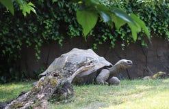 Γίγαντας Aldabra Στοκ φωτογραφία με δικαίωμα ελεύθερης χρήσης