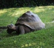 Γίγαντας Aldabra Στοκ Φωτογραφίες