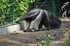 Γίγαντας anteater, ή tridactyla Myrmecophaga Στοκ Εικόνες
