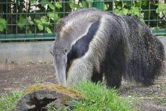 Γίγαντας anteater, ή tridactyla Myrmecophaga Στοκ Εικόνα