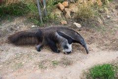 Γίγαντας anteater που περπατά Στοκ Φωτογραφίες