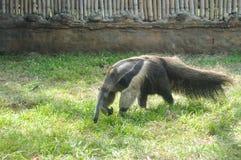 Γίγαντας anteater στο ζωολογικό κήπο της Cali, Κολομβία Στοκ Εικόνες