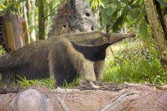 Γίγαντας anteater στο ζωολογικό κήπο Sinagpur Στοκ φωτογραφία με δικαίωμα ελεύθερης χρήσης