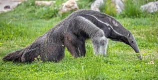 Γίγαντας anteater 3 Στοκ φωτογραφία με δικαίωμα ελεύθερης χρήσης