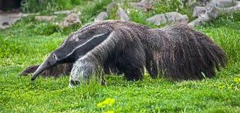 Γίγαντας anteater 4 Στοκ Εικόνες