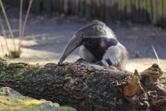Γίγαντας anteater Στοκ Εικόνα