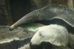 Γίγαντας anteater Στοκ Εικόνες