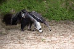 Γίγαντας anteater, tridactyla Myrmecophaga, θηλυκό με ένα μωρό σε την πίσω Στοκ Φωτογραφία