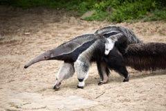 Γίγαντας anteater, tridactyla Myrmecophaga, θηλυκό με ένα μωρό σε την πίσω Στοκ εικόνες με δικαίωμα ελεύθερης χρήσης