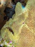 Γίγαντας frogfish, Antennarius commerson Pulisan, Ινδονησία στοκ εικόνες