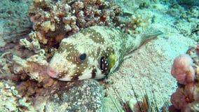 Γίγαντας pufferfish ή Mbu pufferfish Στοκ φωτογραφία με δικαίωμα ελεύθερης χρήσης