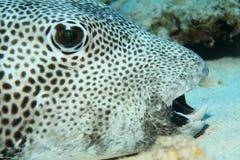 γίγαντας pufferfish Στοκ Εικόνες
