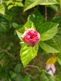 Γίνοντας ένα λουλούδι Στοκ εικόνες με δικαίωμα ελεύθερης χρήσης