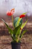γίνοντα λουλούδι κόκκινο δοχείων plasticine Στοκ εικόνα με δικαίωμα ελεύθερης χρήσης