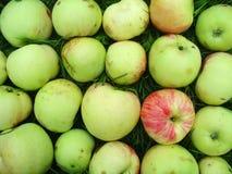 γίνοντα grushovka πρότυπο μήλων Στοκ Εικόνα