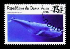 Γαλάζια φάλαινα (musculus Balaenoptera), θηλαστικά θάλασσας serie, circa 199 Στοκ Φωτογραφίες