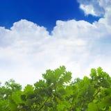 γαλαζοπράσινος δρύινος  Στοκ Εικόνα